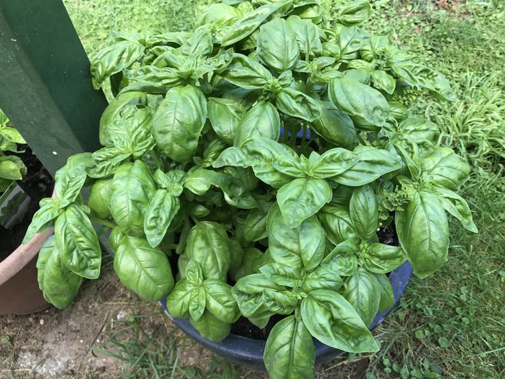 Basilico  Basil leaves