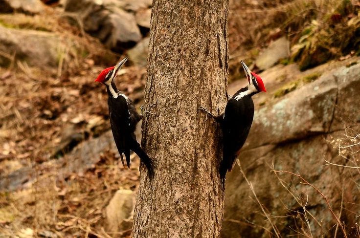 Pileated Woodpeckers as Bookends by Bob Betts on 500px