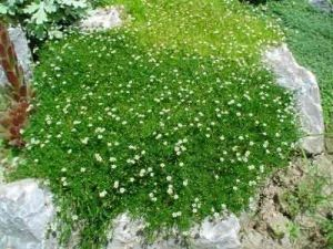 "ИРЛАНДСКИЙ МОХ ""Sagina Subulata"" Irish Moss"