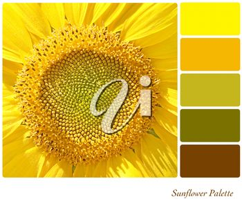 A background closeup of a sunflower in a colour palette with complimentary colour swatches.
