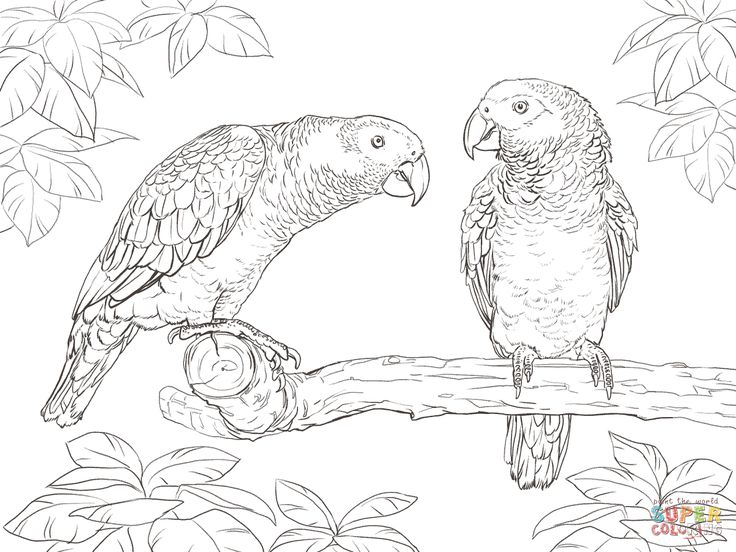 two african grey parrots coloring page supercoloringcom