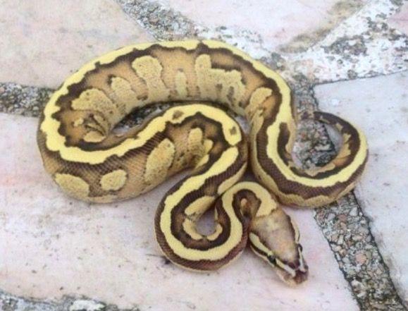 ボールニシキヘビ Vanilla Cream