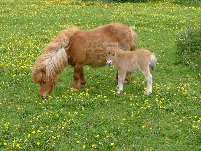 37 best Shetland pony images on Pinterest | Horses, Adorable ...