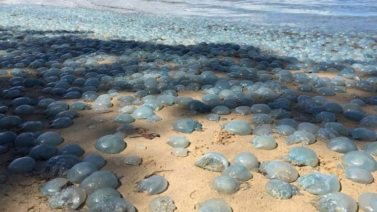 Jellyfish wash up 'like wallpaper' on Australian beach - BBC News