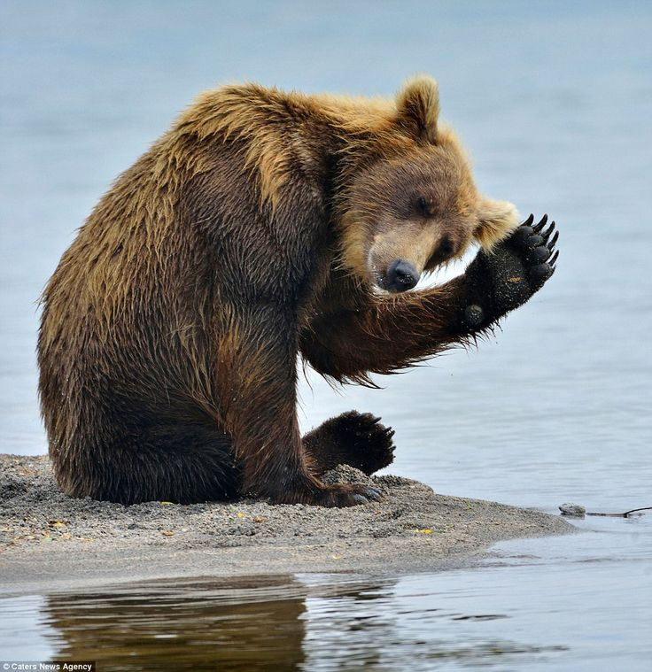 Best Waving Bear Ideas On Pinterest Grizzly Bear Size Baby - 15 funny bears acting like humans