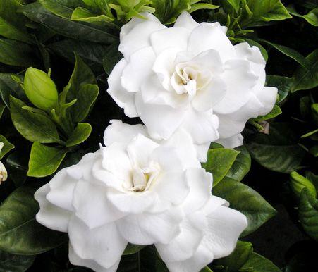 verdeesvida :: Gardenia, Jazmín del Cabo