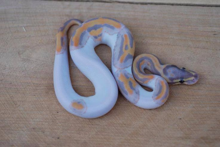 Coral Glow Pied ball python