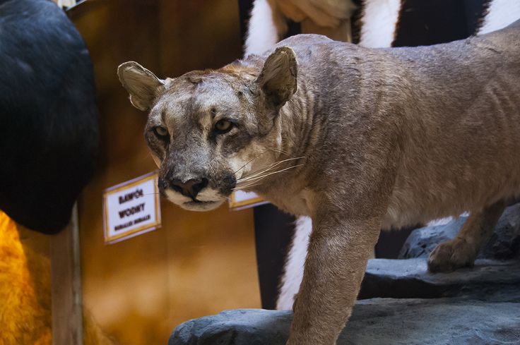 Magnificent puma trophy seen during Polish Hunting Fairs - Hubertus EXPO 2015. Hunt beautiful beasts of the wild with us!