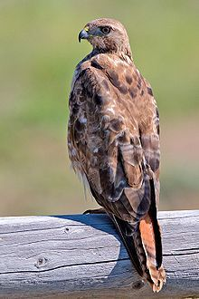 """Roland """"Ro"""" is a hawk shifter. In human form he has long dredds, and is extremely charming. He is said to be fluent in Spanish, creole, french, English, and hebrew. He is a redtail hawk when he shifts and is Satordi's adopted son and personal mechanic. He lives on Satordi's ranch."""