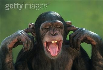 This is a chimpanzee with it's fingers in its ears.Reminds me some of my students in class..