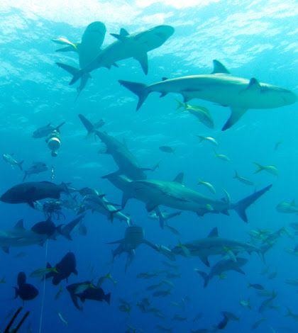 Some #sharks aren't that voracious and only occupy the middle of food chains. #FishSens Magazine:http://magazine.fishsens.com/great-barrier-reef-shar... - Fondriest Environmental - Google+