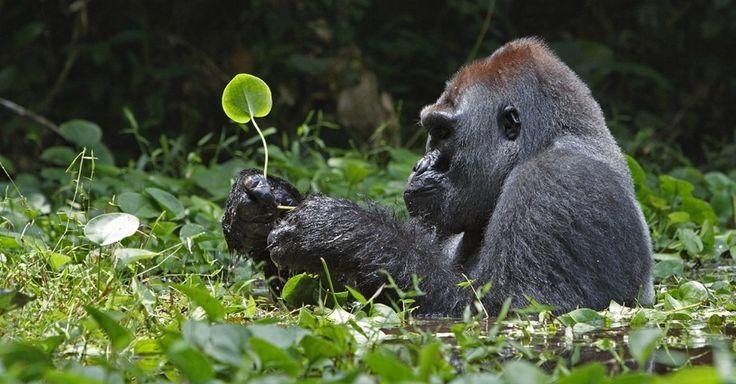 Um gorila come raízes de ervas em um pântano do Congo. Os gorilas que têm a pelagem cinza nas costas são os machos alfa que lideram o grupo