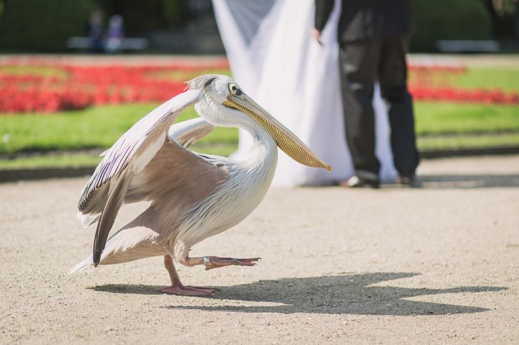 Tierpark Friedrichsfelde  #heiraten #tierparkberlin #pelikan #hochzeit