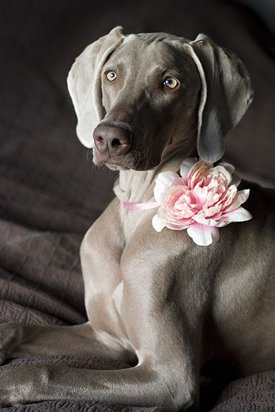 Very Cute!: Pink Flowers, Weimaraner, Pink Lady, Pretty Girls, Pet, Flowers Girls, Silver Labs, Beautiful Dogs, Animal