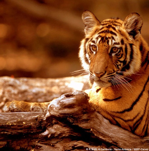 Species Adoptions    Donate to WWF and choose  your favorite symbolic  adoption. It's a gift that helps  protect our living planet!  Adopt a Tiger