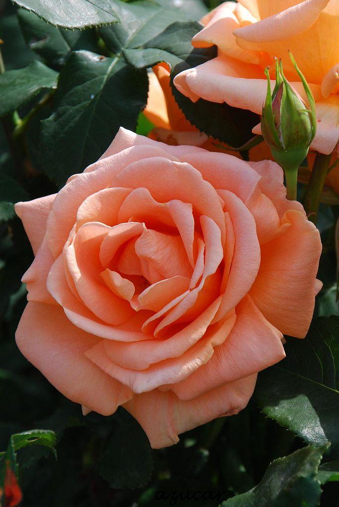 Картинки розы чайные, своими руками