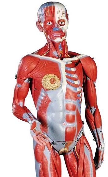87 Best Anatomy Models Images On Pinterest Anatomy Models Skull