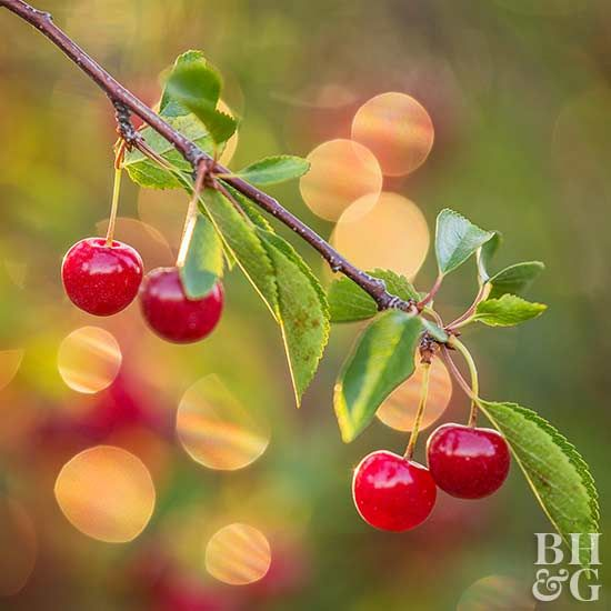 Ready to make great cherry pies? Learn how to grow a cherry tree for a tasty summer harvest.