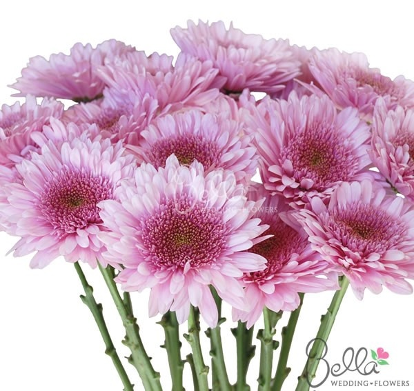Fresh lavender/pink cremon flowers. Cremons are a type of chrysanthemum flowers. They have dense, short, springy petals in the center surrounded by softer, elongated petals around the outside of the bloom. Order wholesale cremons with Free Shipping! $129