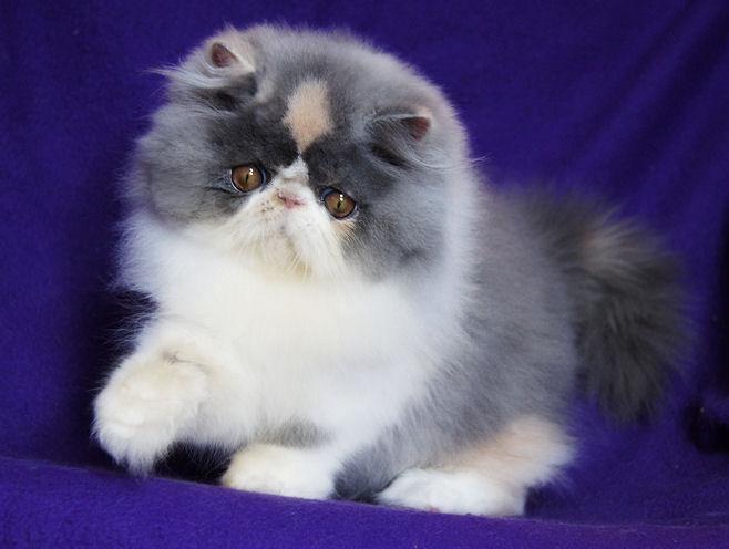 Norwegian Forest Cat Breeders Bc Canada