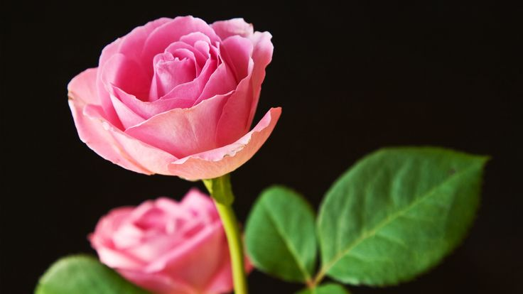 One dozen light pink roses at from you flowers Pink roses are a