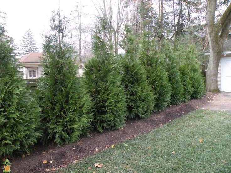 Thuja Green Giant Evergreen Trees for Sale | The Planting Tree