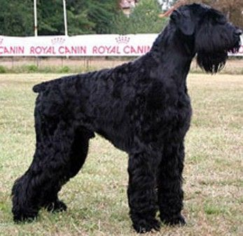 Giant Schnauzer.......we saw one of these beauties walking on the beach.   Truly a fabulous dog!