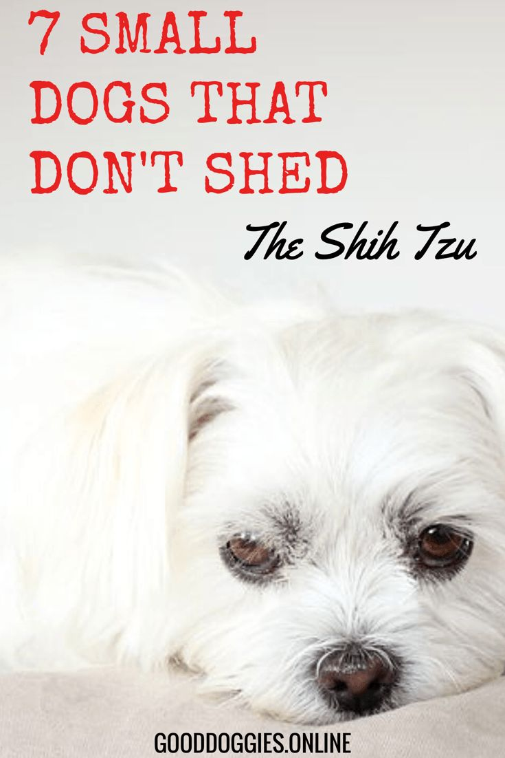 7 Adorable Non Shedding Small Dogs Small Dogs Dogs