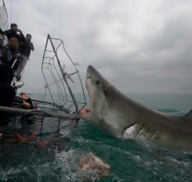 Great White Shark                                                       …