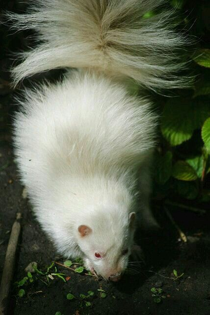 443 Best Images About Skunk On Pinterest Zoos Your Dog