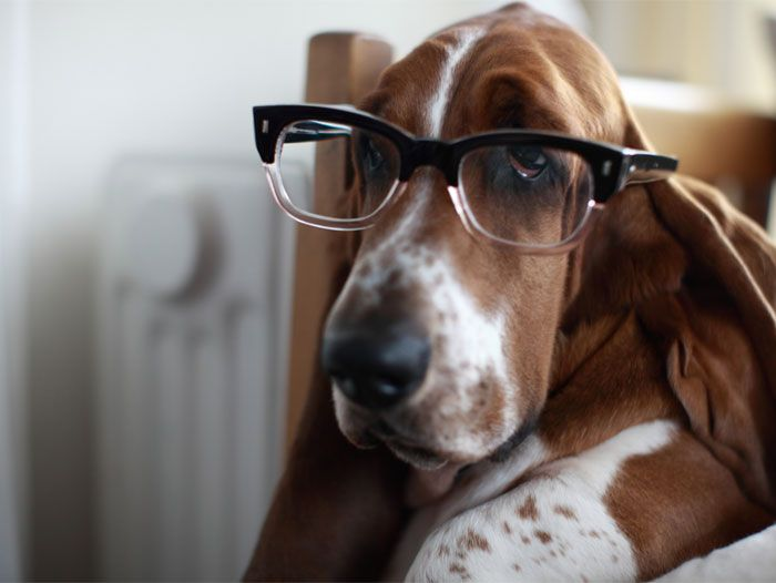 .basset hound in glasses. -- my poor Thelma hurt her eye today.  Taking her to vet tomorrow -- hope she doesn't need glasses! :-)