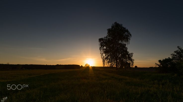Birch tree on sunset - Birch tree on sunset