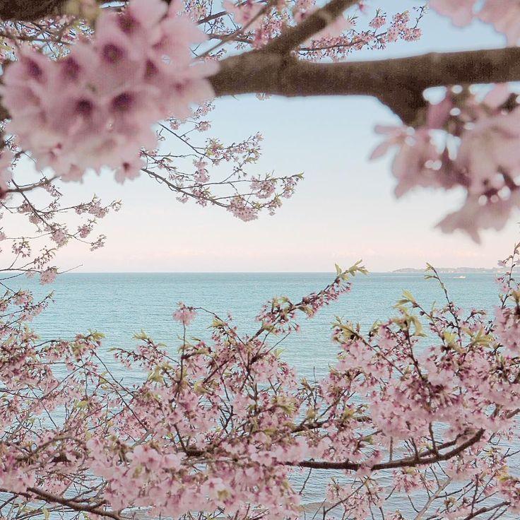 Spring has come In #NotoPeninsula. #能登半島、#珠洲市 谷崎の早咲き桜。遠くに#立山連峰 が見えてたんだけど、写真だとわからない…。 桜を見るとヒマラヤを思い出します。春の登山シーズン到来で、今年も友人たちがネパールへと旅立っていきました。エベレスト街道沿いの白い山桜は、今ごろ咲いているだろうか。 明日8日は、金沢21世紀美術館で19時からトークイベントです! #okunoto#okunoto_suzu#okunoto_triennale#cherrytrees#cherryblossomseason#cherryblossomtree#weepingcherrytree#springhascome#奥能登国際芸術祭#奥能登#珠洲#日本海#飯田湾