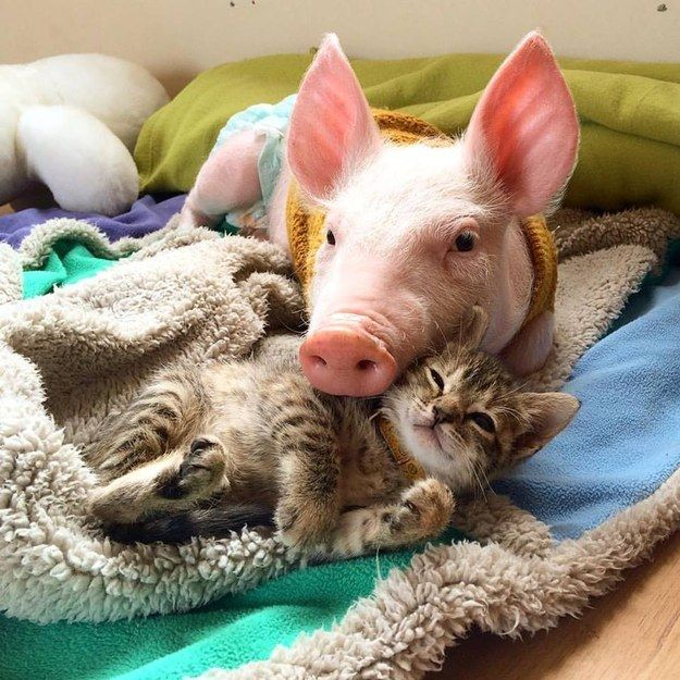 This is Laura, a rescued piglet, and her BFF, Marina, a rescued kitty.