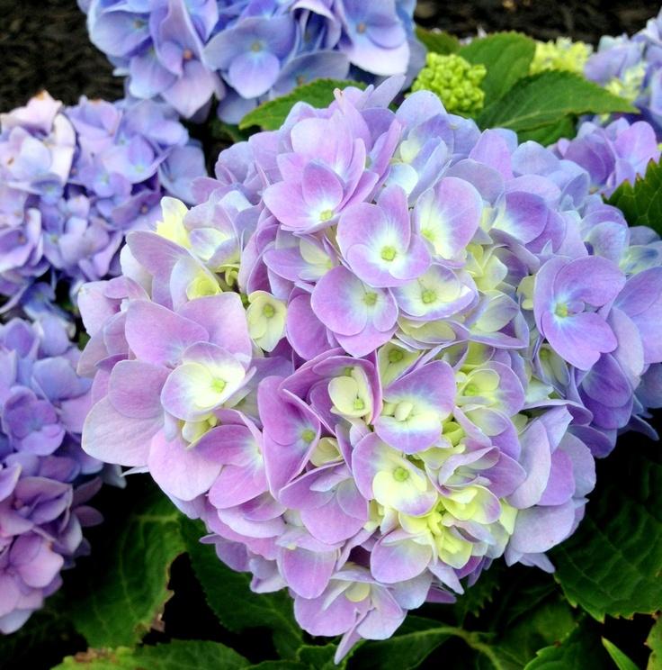 25 Best Ideas About Hydrangea Colors On Pinterest