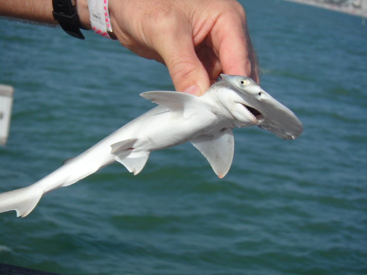 Baby Shark Clearwater Beach Florida Took This Picture December Of 2012 A Gentleman Was Fishing Off The Dock And About To Release Little