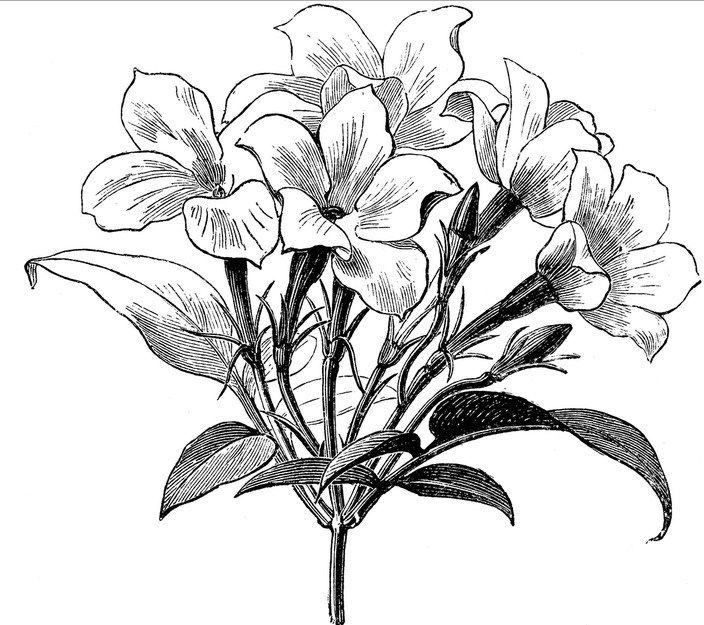 jasmine flower botanical drawing - Google Search