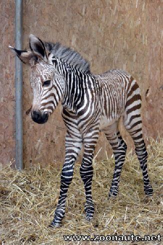 Première naissance de zèbre depuis la création de la Plaine Africaine au Zoo de Lyon
