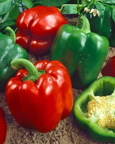 """Keystone Resistant Giant Sweet - plant 4x -  75 days. Capsicum annuum. Plant produces heavy yields of large 4 ½"""" long by 3 ½"""" wide sweet bell peppers. Peppers have thick wall and turn from green to red when mature. Produces well even under adverse weather conditions."""