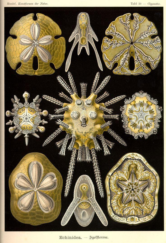 Echinidea by Ernst Haeckel; Kunstformen der Natur, 1900