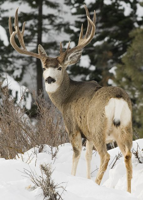 Mule Deer with a snow-white face