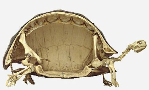 turtles skeleton
