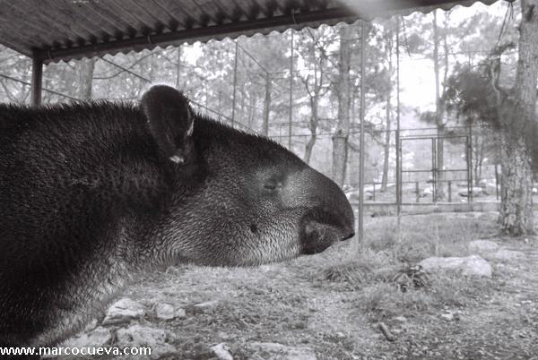 Tapir, Zoológico de Tegucigalpa