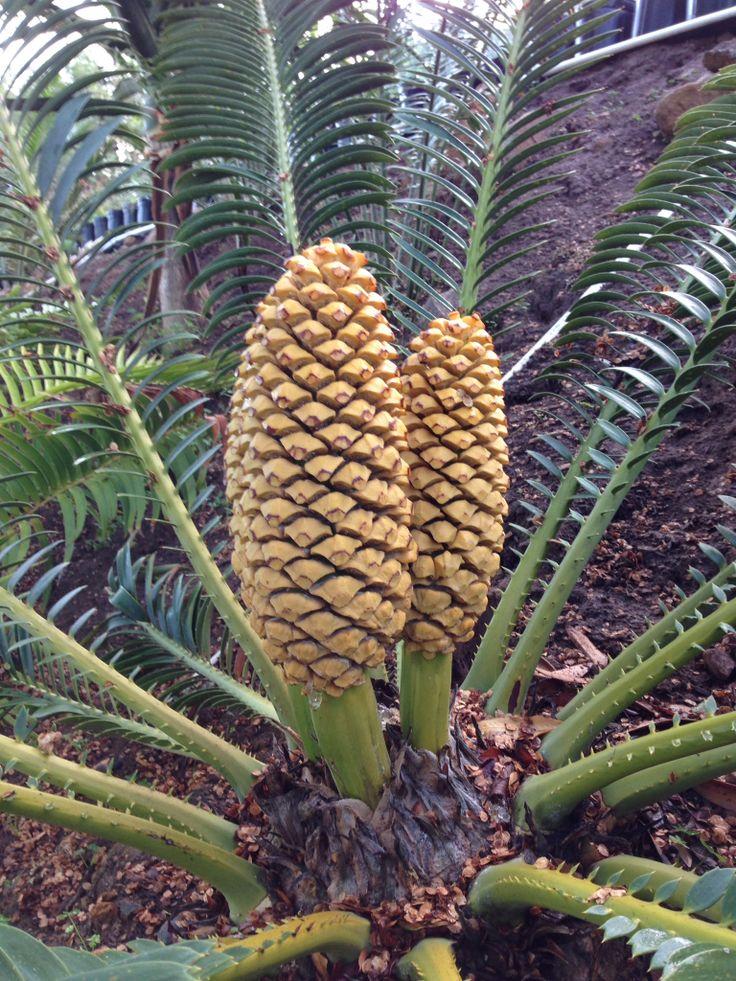 Cycad Encephalartos sclavoi male cones