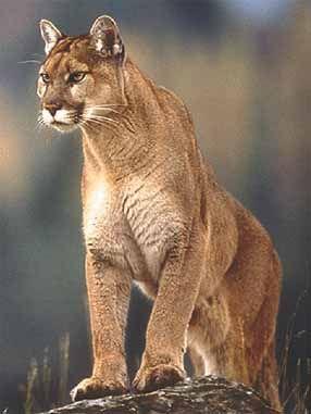 Puma - FAUNA AMAZONICA ECUATORIANA