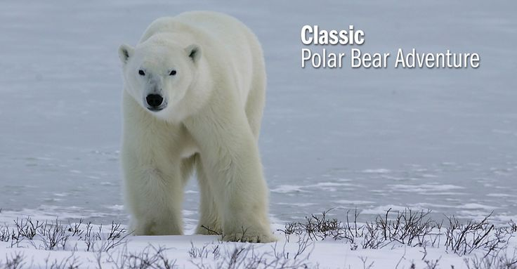 Classic Polar Bear Adventure - Natural Habitat Adventures (supported by WWF)