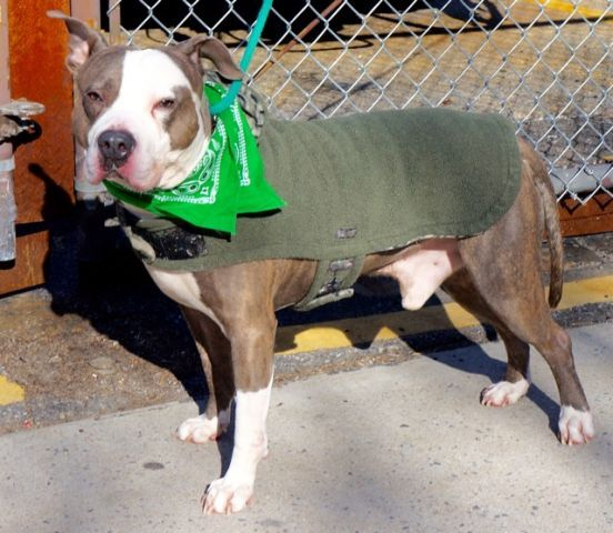 SUPER URGENT Manhattan Center LORAX – A1066361  **SAFER: AVERAGE HOME**  MALE, BLUE / WHITE, AM PIT BULL TER / AMERICAN STAFF, 6 yrs STRAY – STRAY WAIT, NO HOLD Reason STRAY Intake condition EXAM REQ Intake Date 02/29/2016, From NY 10472, DueOut Date03/03/2016