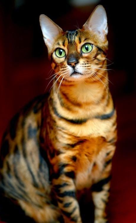 #1  BENGAL  ---Top 5 Best Cat Breeds In The World