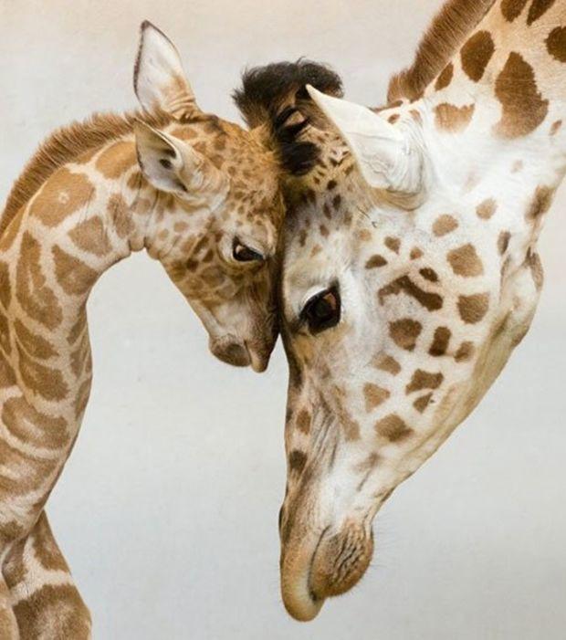 Zärtliche Momente zwischen Giraffenmama und Giraffenbaby