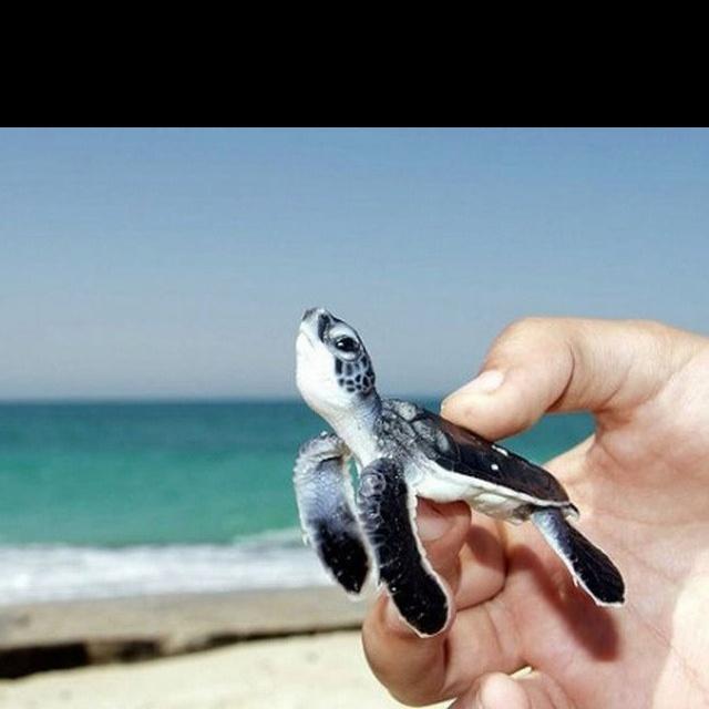 Baby sea turtle.: Awww, Sweet, So Cute, Pet, Seaturtl, Things, Baby Turtles, Animal, Baby Sea Turtles